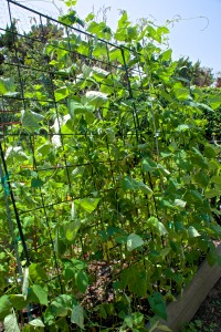 This handsome row of green beans is towering over my head, but there is not one single flower on the bean vines. Yet.