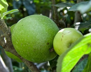 My Granny Smith apples are doing well. Some of the apples are huge and some aren't much bigger than golf balls.
